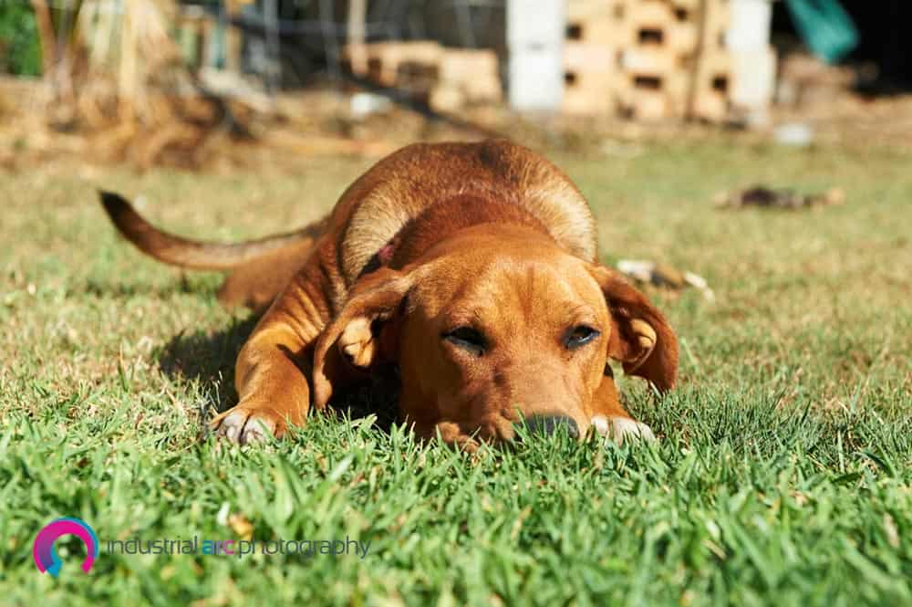 Ridgeback puppy laying down on green grass